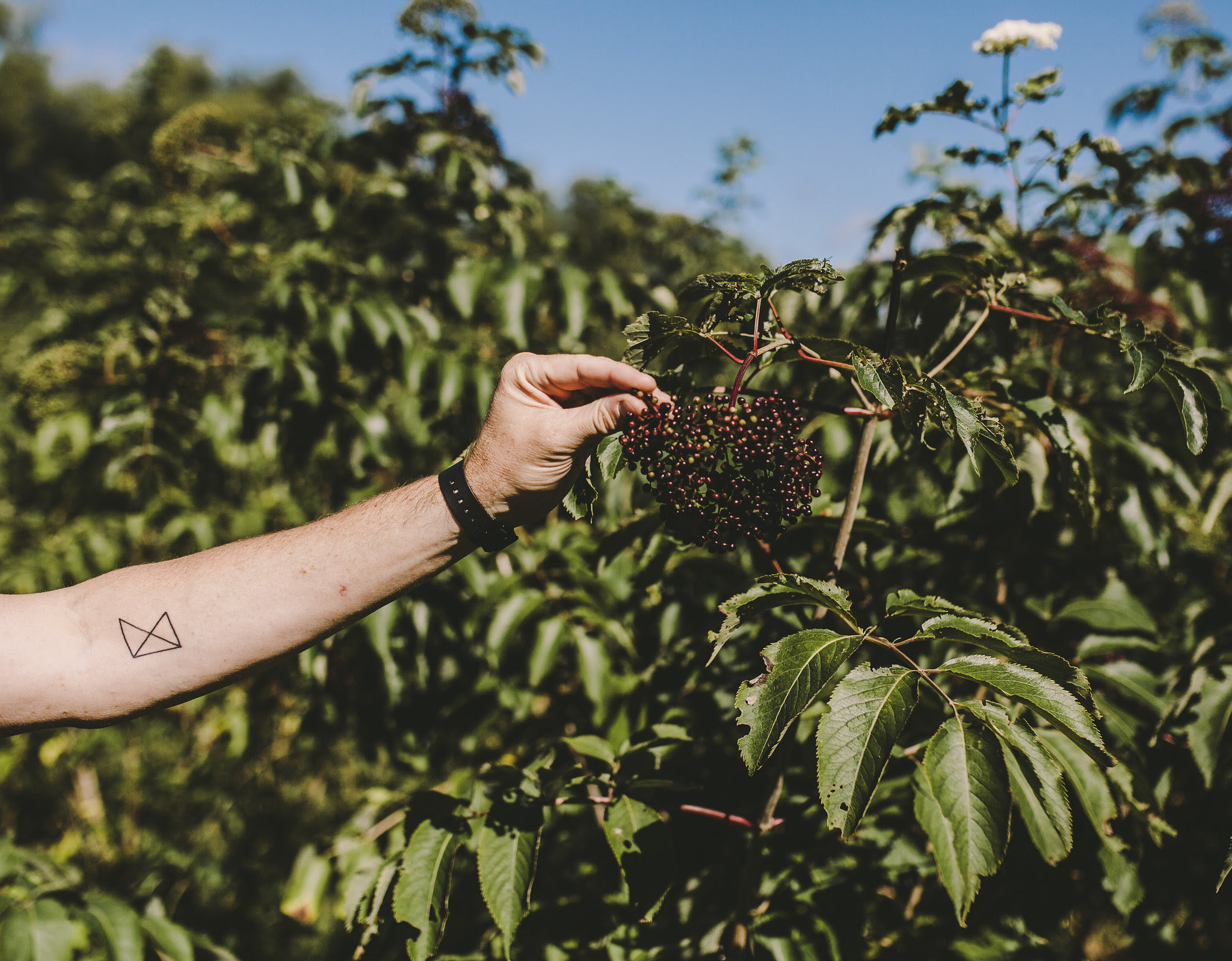 Three types of elderberries were used in Able Seedhouse Crono Culture 001 // Photo courtesy of Able Seedhouse + Brewery