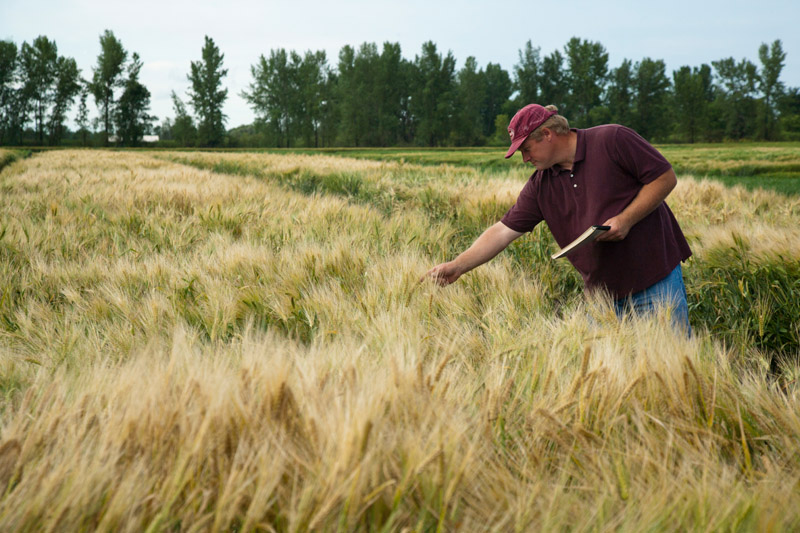 "'Quest' barley, released in 2010 by the U of MN, Minnesota Agricultural Experiment Station. First U of M barley with improved resistance to Fusarium head blight resistance. A spring, 6-rowed malting barley known before release as M-122. University of Minnesota, MAES project #13-30, ""Barley Improvement and Genetics,"" principal investigator: Kevin Paul Smith."