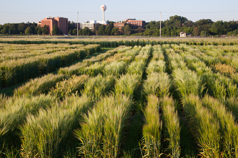"St. Paul Campus barley plots, late June, 2010. University of Minnesota, Agricultural Experiment Station research project #13-030, ""Barley Breeding and Genetics."" Principal investigator: Kevin Paul Smith."