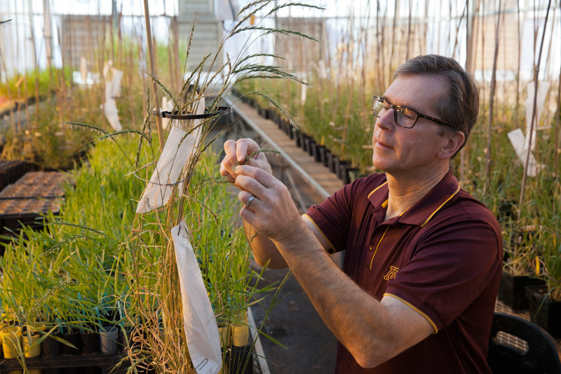 "Wild barley collected from Israel and other Mid-Eastern countries, part of a search for plants resistant to emerging diseases. Plant disease research of the University of Minnesota, grown in greenhouse on the St. Paul campus. Minnesota Agricultural Experiment Station project #22-020, ""Disease Resistance In Small Grain Cereal Crops and Their Wild Relatives."" Principal investigator: Brian Joel Steffenson."