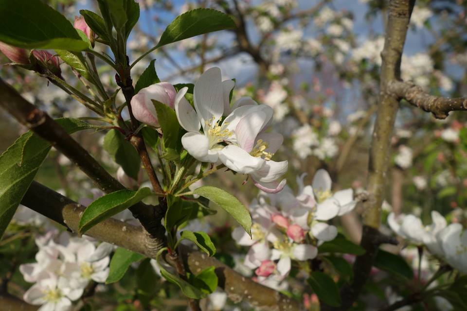 Blossoms on a Dolgo crabapple tree at Sweetland Orchard // Photo via Sweetland Orchard Facebook