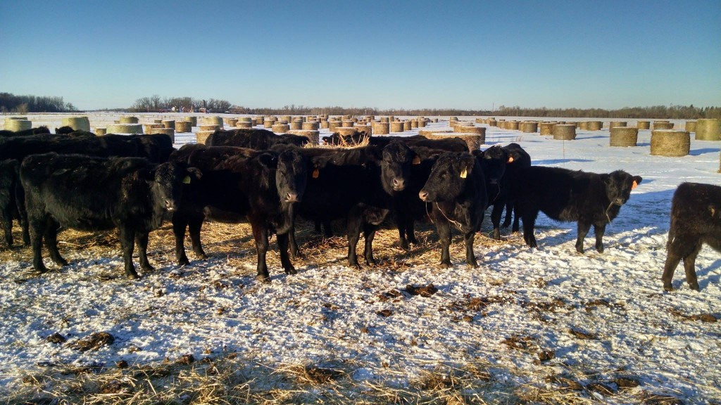 Cows at Cloverleaf Grass Farms, photo via Facebook.