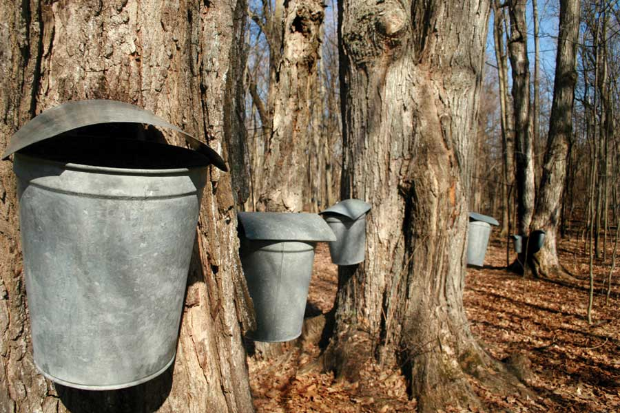 Maple trees tapped and ready to go // Photo via iStockphoto.com