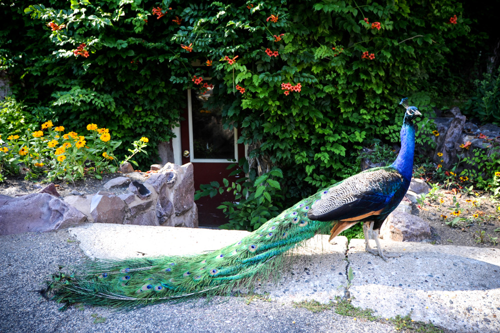 One of the peacocks that roams the grounds at August Schell Brewing Company // Photo by Dan Murphy