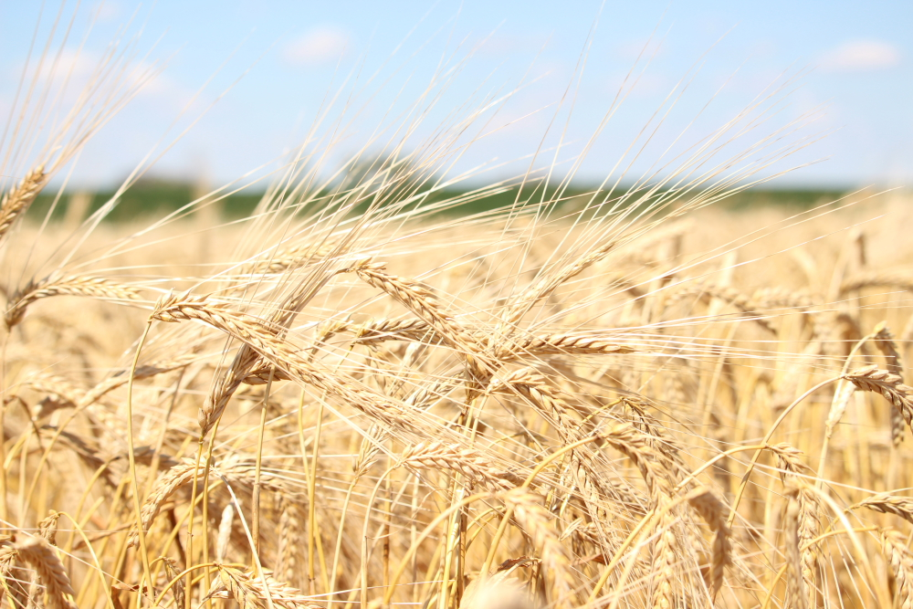 Field of barley ready for harvest // Photo courtesy of Two Track Malting