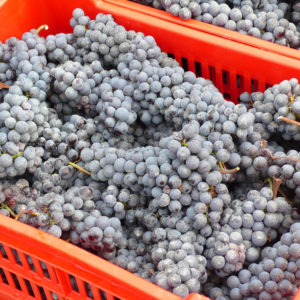 """A small basket or """"cassette"""" of Nebbiolo grapes // Photo Anthony Nicalo, Flickr"""