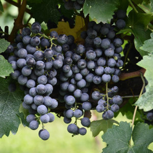 Cabernet Sauvignon grapes // Photo labeled for re-use