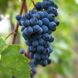 Sangiovese Grapes in the Chianti region of Italy, a fabled and storied area in wine // Photo courtesy Monte Maggio