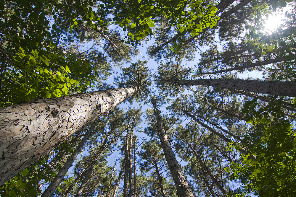 A pine forest // Photo courtesy the Minnesota Pollution Control Agency