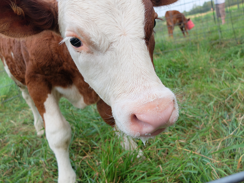 One of the cows on Kent Solberg's farm // Photo by Katie Feterl