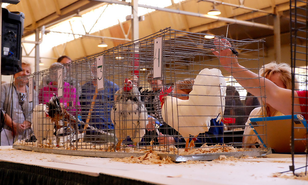 Poultry being judged at the Minnesota State Fair // Photo courtesy Minnesota State Fair