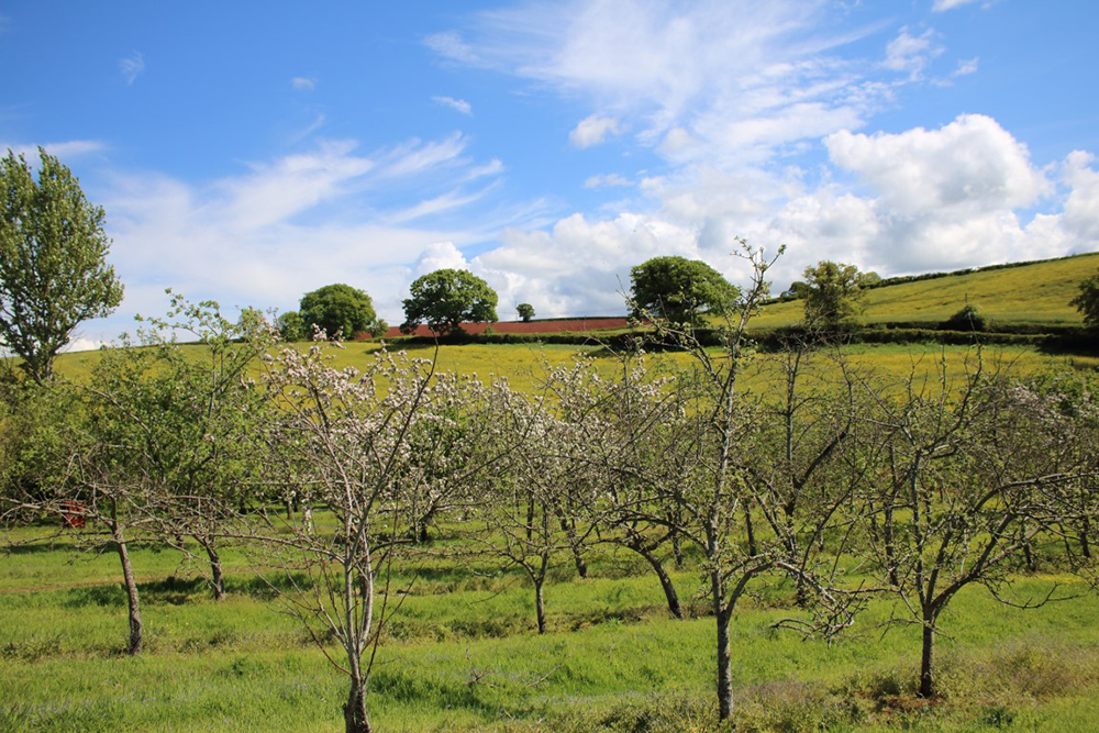 The Torre Cidery orchard in the United Kingdom // Photo courtesy Torre Cidery