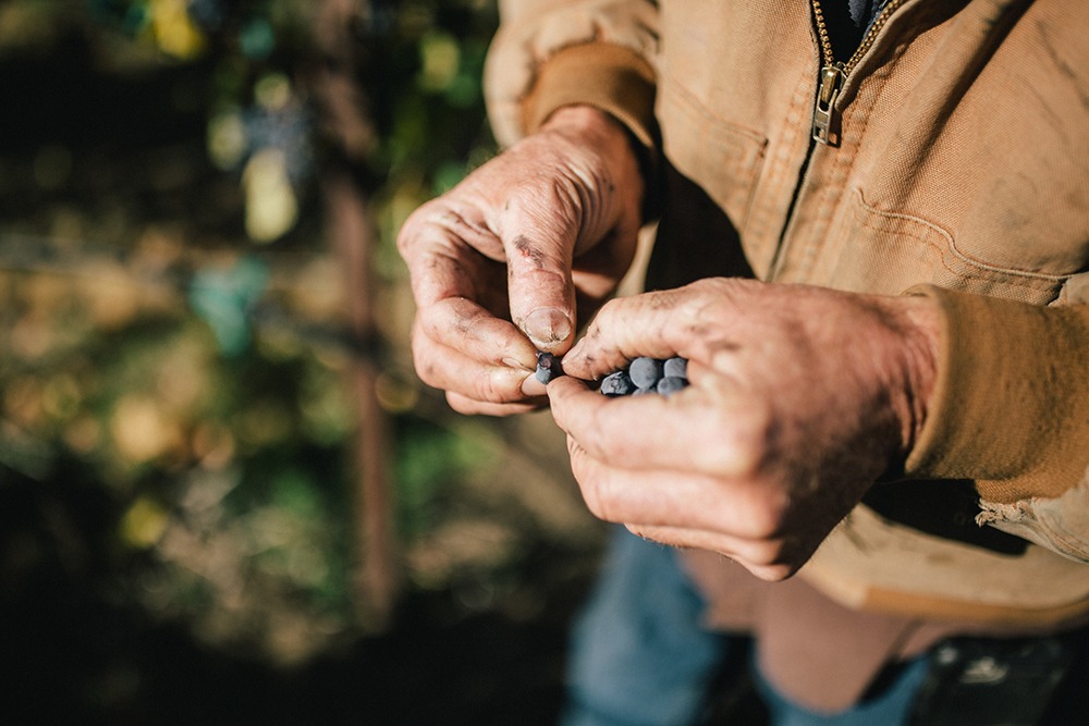 Scott Williams with a handful of grapes in the Kiona Vineyard // Photo courtesy Kiona Vineyards