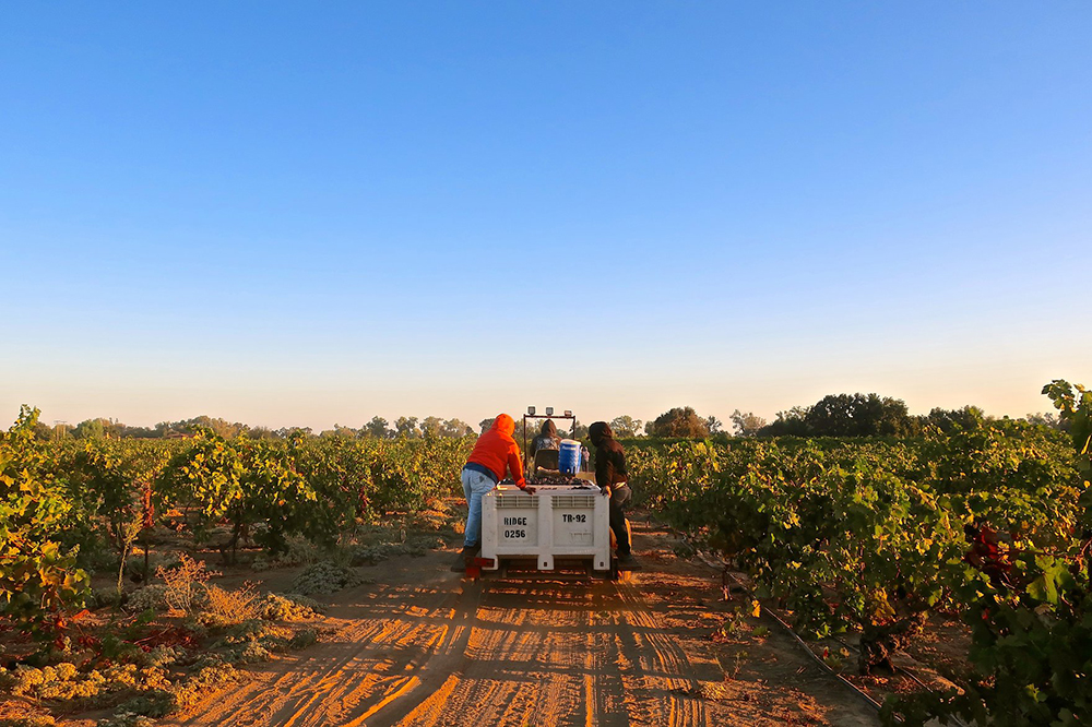 Workers in one of the many vineyards of the Lodi AVA in central California // Photo courtesy Lodi Winegrape Commission