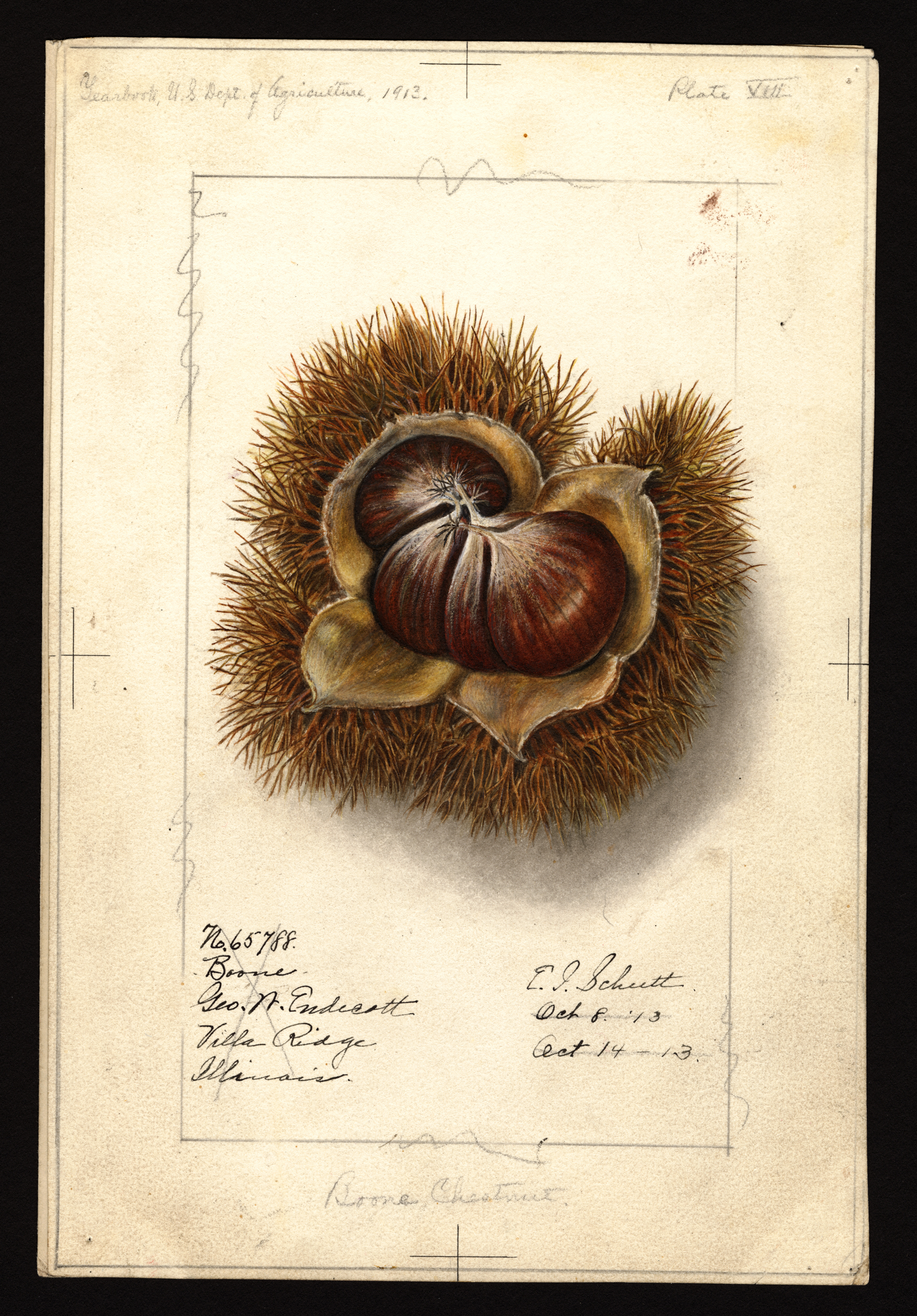 American Chestnut // Illustration via U.S. Department of Agriculture Pomological Watercolor Collection. Rare and Special Collections, National Agricultural Library, Beltsville, MD 20705