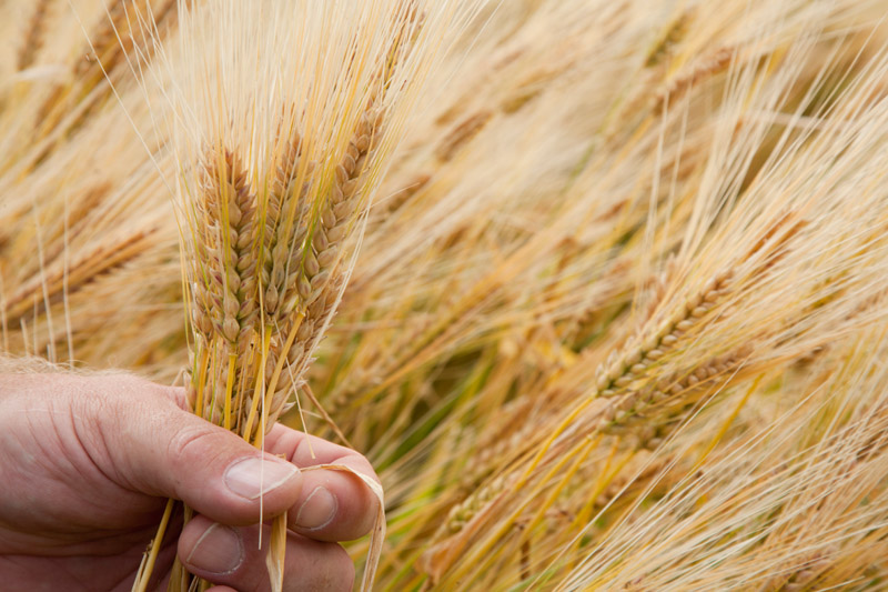 """""""Quest"""" barley, released in 2010 by the University of Minnesota, Minnesota Agricultural Experiment Station, was the first U of M barley with improved resistance to Fusarium head blight // Photo by David Hansen, University of Minnesota"""