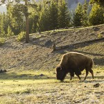 Bison grazing at Yellowstone National Park // Photo by Mike Richman