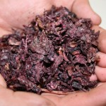 Handful of Barossa Valley red grape pomace // Photo by Adrian J. Hunter