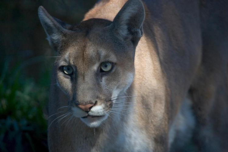 Florida Panther // Photo by Rodney Cammauf, NPS