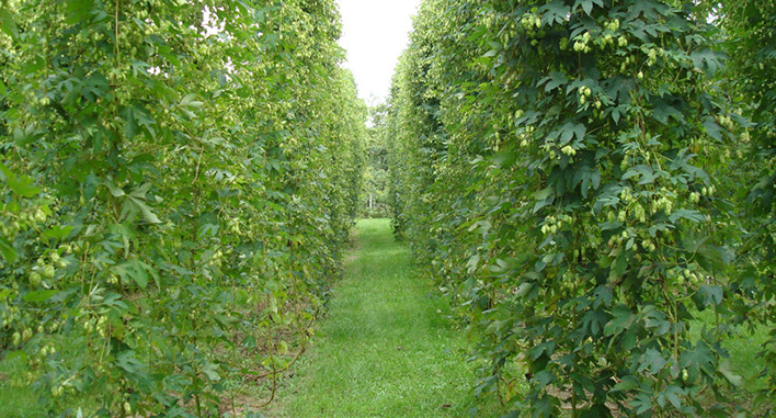 Northern Discovery Hops066 copyFEAT