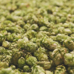 Mosaic hops used in this year's return of Surly Wet // Photo courtesy of Surly