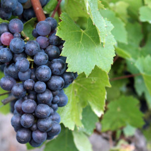 Gamay Grapes from France // Photo courtesy WCS Blog
