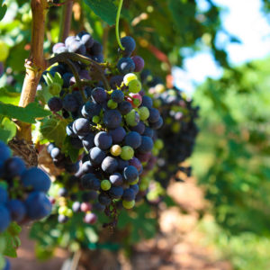 Merlot Grapes from Shelton Vineyards in North Carolina // Photo courtesy Jacob Childrey, Flickr