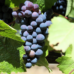 Pinot Noir grapes from the Anderson Valley region of Mendocino County, California - a popular American Viticultural Area // Photo by Naotake Murayama, Flickr