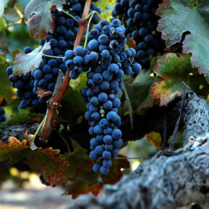 Grapes on an 80-year-old Syrah vine // Photo labeled for re-use