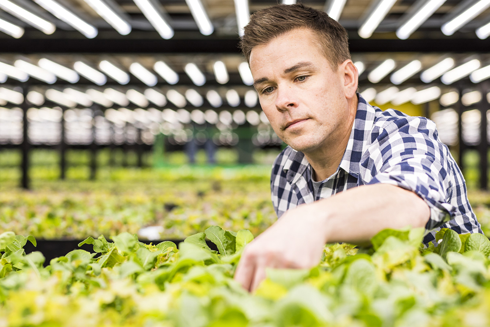 Fred Haberman examines rows of Romaine Lettuce // Photo by Tj Turner