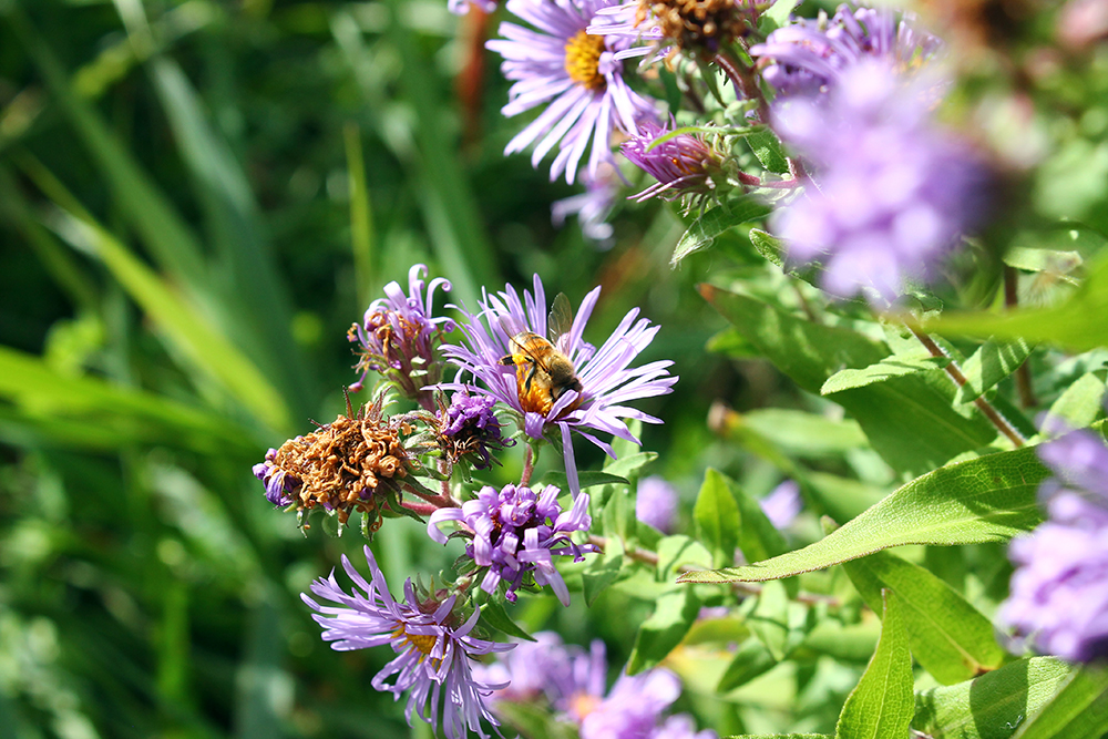 Honeybees on Aster flowers // Photo courtesy Ames Farm