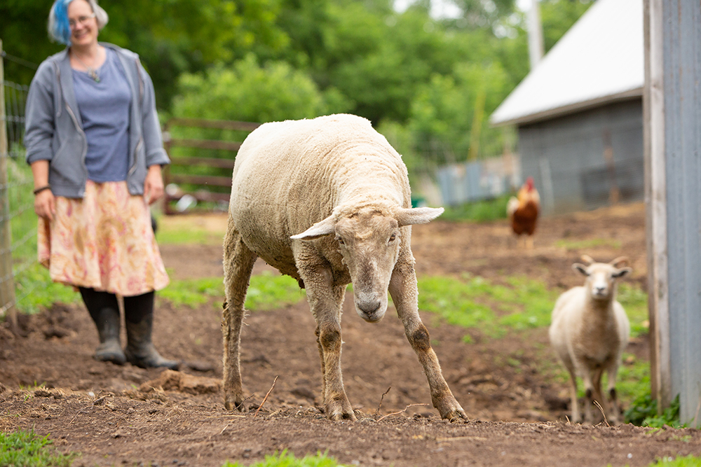Andrea Myklebust, left, with some of her sheep and a rooster on Black Cat Farmstead near Lake Pepin, Wisconsin // Photo by Barbara O'Brian Photography