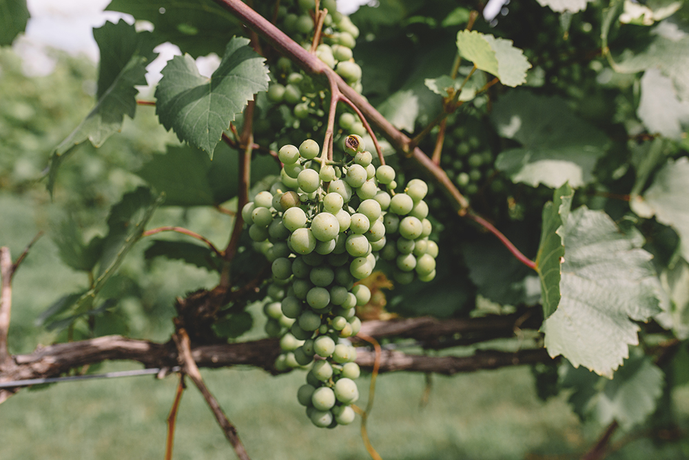 A bunch of La Crescent grapes at Sovereign Estate Winery // Photo by Sam Ziegler