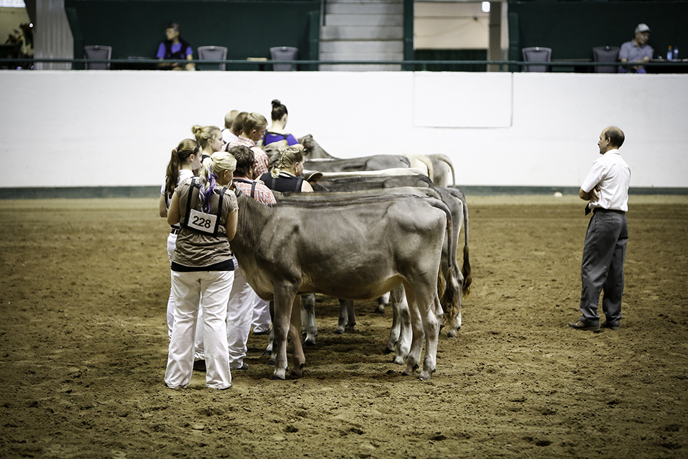 Cows being judged at the Minnesota State Fair // Photo by Kevin Kramer