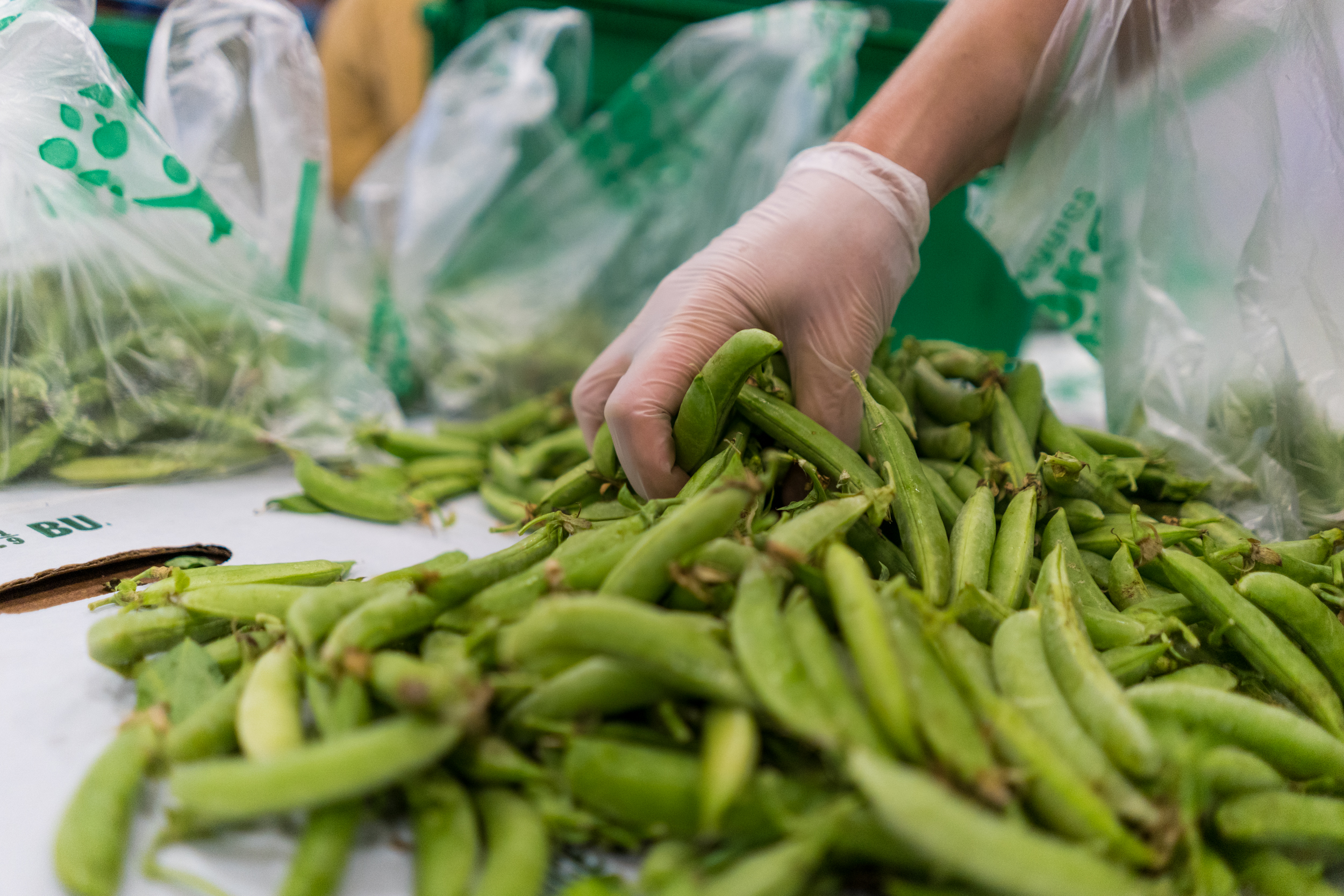 Snap peas at Good Acre // Photo by Tony Saunders